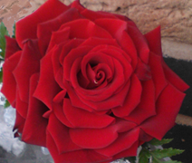 Enhanced and enlarged rose